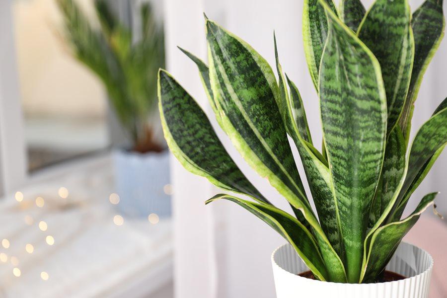 Світлолюбність сансев'єрій залежить від того, до чого рослина була привчена змалечку та від забарвлення листя