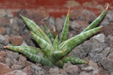 Сансев'єрія граційна (Sansevieria gracilis)