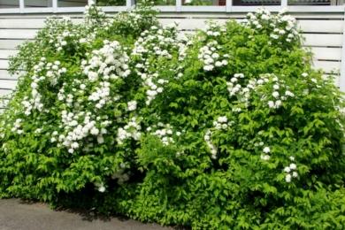 Спірея дібровколиста (Spiraea chamaedryfolia)