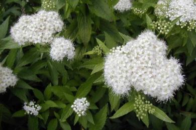 Спірея біла (Spiraea alba)