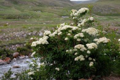 Спірея альпійська (Spiraea alpina)