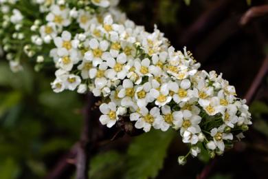 Спірея звіробоєлиста (Spiraea hypericifolia)