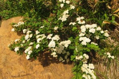 Спірея ніппонська (Spiraea nipponica)