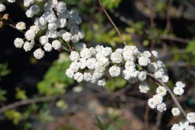 Спірея сливолиста (Spiraea prunifolia)