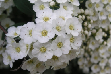Спірея городчаста (Spiraea crenata)