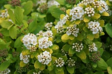 Спірея березолиста (Spiraea betulifolia)
