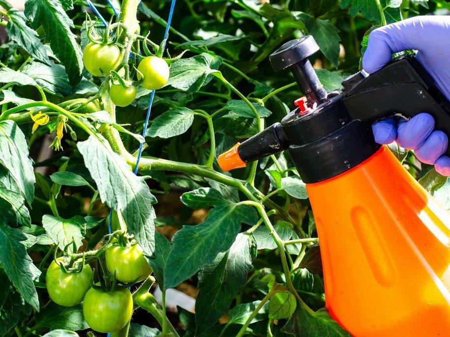 Оприскування народними і біологічними засобами рослин, уражених фітофторою, ефективні на початкових стадіях і як профілактика