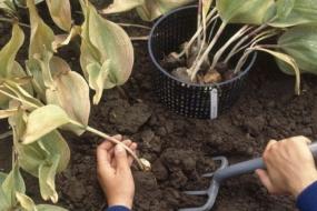 Коли викопувати тюльпани?