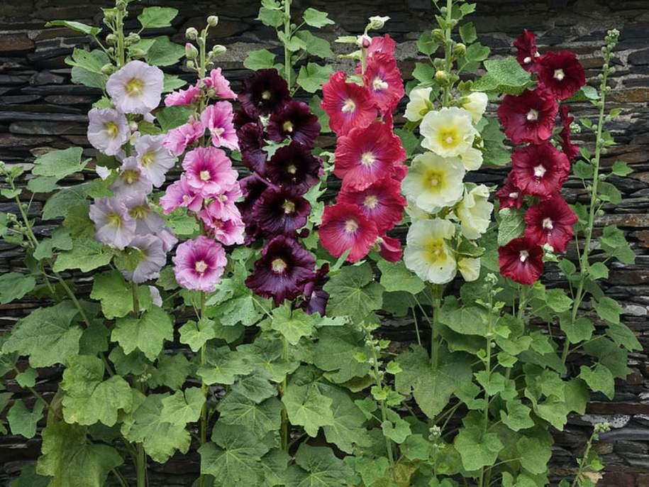 Рожа садова, шток-рожа(Alcea rosea)