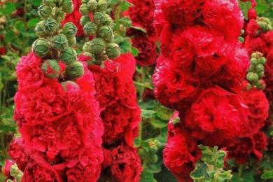 Мальва садова «Чартерс Рот» (Charters Rot)