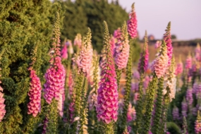 Наперстянка в саду — правила вирощування, найкращі види і сорти
