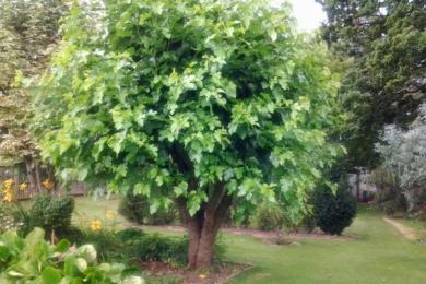 Шовковиця чорна, або тутова ягода (Morus nigra)