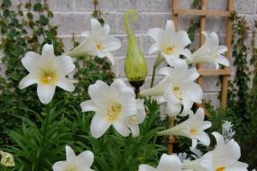 Лілії після цвітіння — питання і відповіді