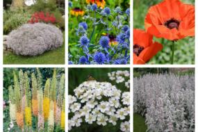 Багаторічні рослини для квітника, які можна не поливати