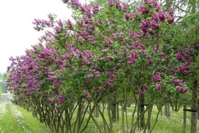 Бузок звичайний (Syringa vulgaris) «Шарль Джолі» (Charles Joly)