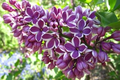 Бузок звичайний (Syringa vulgaris) «Сенсейшн» (Sensation)