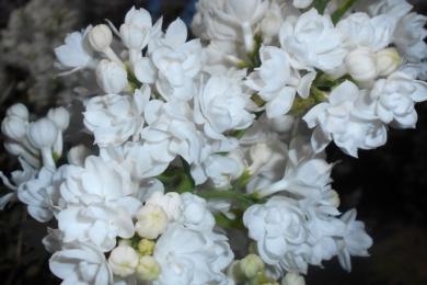 Бузок звичайний (Syringa vulgaris) «Міс Еллен Уілмотт» (Miss Ellen Willmott)
