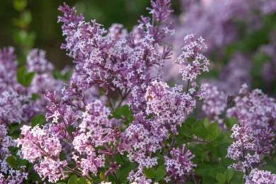Бузок звичайний (Syringa vulgaris) «Міс Кім» (Miss Kim)