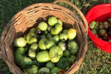 Візуально здорові помідори збираємо і заносимо на дозрівання