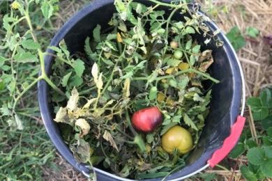 Явно пошкоджені фітофторою помідори одразу викинула разом з бадиллям