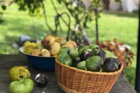 Рятуємо томати від фітофтори – знімаємо недозрілі плоди