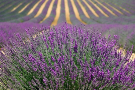 Як посадити власне лавандове поле?