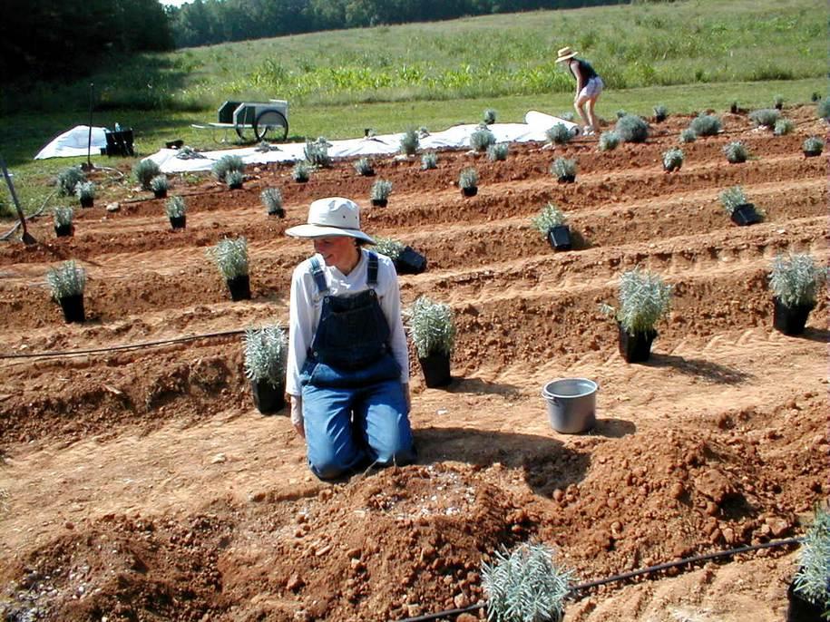 Дворічні саджанці для створення лавандового поля — найкращий варіант