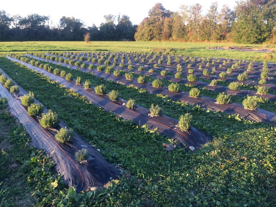 Землю в рядках потрібно замульчувати відразу після посадки лаванди, міжряддя можна задернити, висадивши грунтопокривні рослини