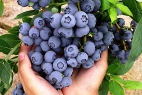 Лохина — кращі сорти для України і особливості вирощування