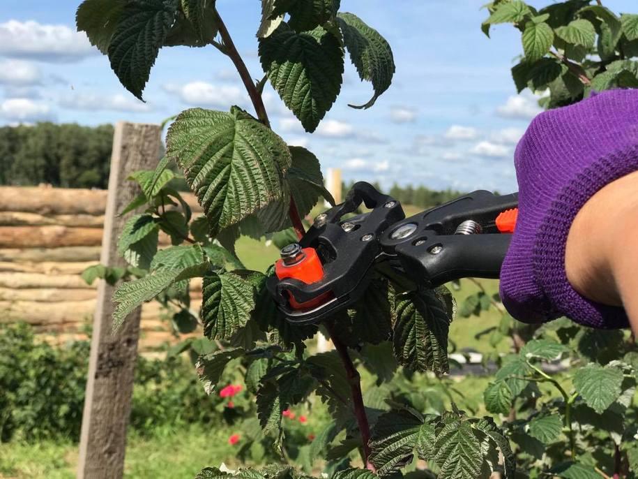 Обрізка малини восени — звичайної і ремонтантної