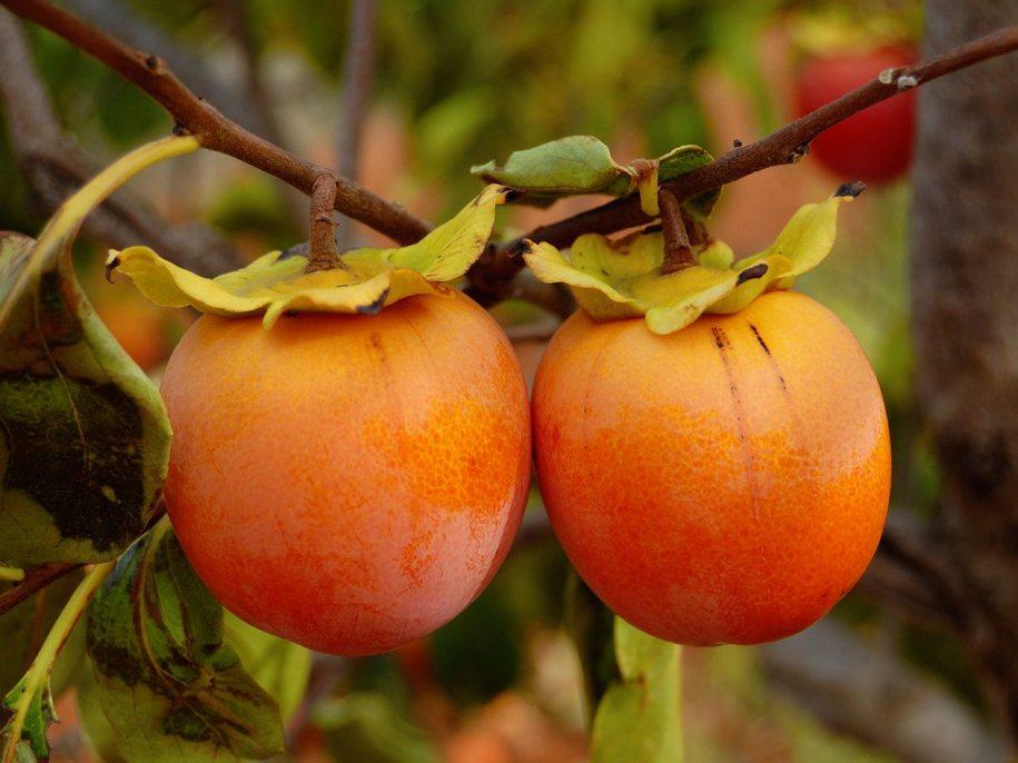 Вирощування хурми в Україні — посадка, зимівля, сорти