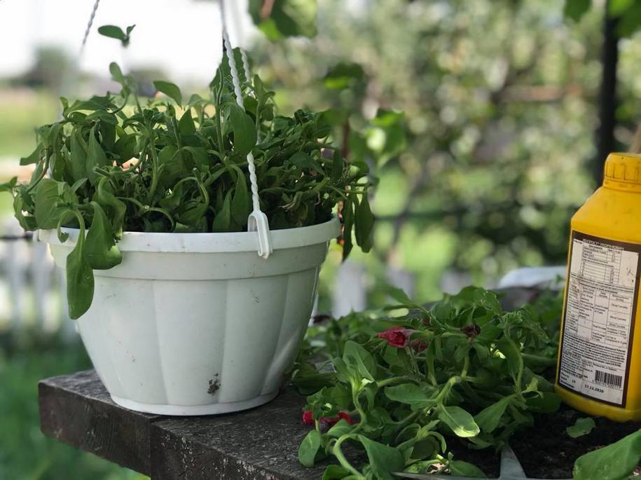 Як повернути петунії пишність цвітіння в другій половині сезону?