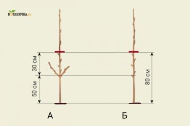 Обрізка саджанця яблуні після посадки: А - обрізка саджанця з боковими пагонами, Б - обрізка саджанця без бокових пагонів