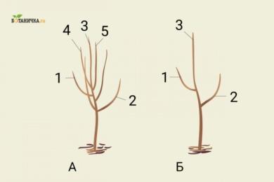 Формування крони молодого саджанця: А - саджанець до обрізки, Б - саджанець після формування першого ярусу крони. 1 і 2 - гілки першого ярусу, 3 - центральний провідник, 4 і 5 - гілки, які необхідно вирізати