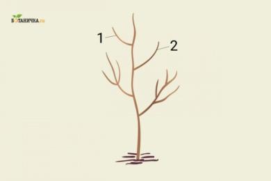 Формування крони молодої яблуні: 1 і 2 - гілки другого яруса крони