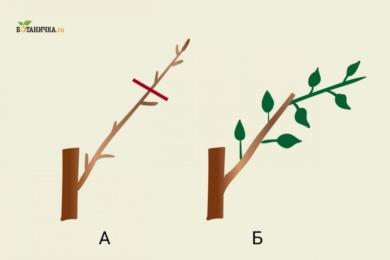 Обрізка каркасних гілок плодового дерева: А - каркасна гілка до обрізки, Б - каркасна гілка після обрізки з новим пагоном