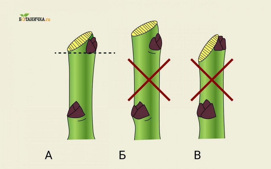 Зріз проводять від бруньки вниз під кутом в 45°, так, щоб верхній та нижній край були на рівні верхнього та нижнього краю бруньки