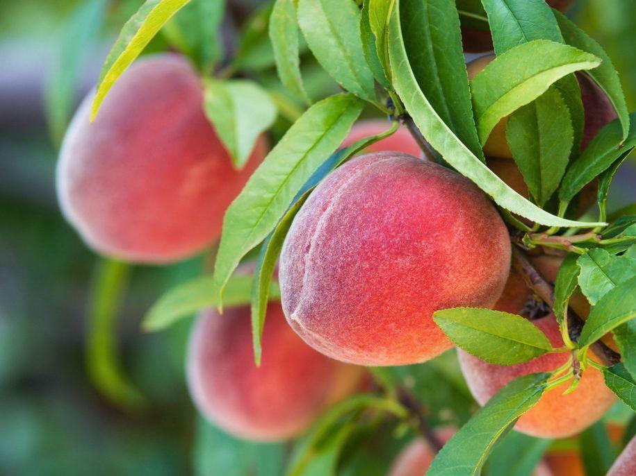 Персик із кісточки — міфи і реальність