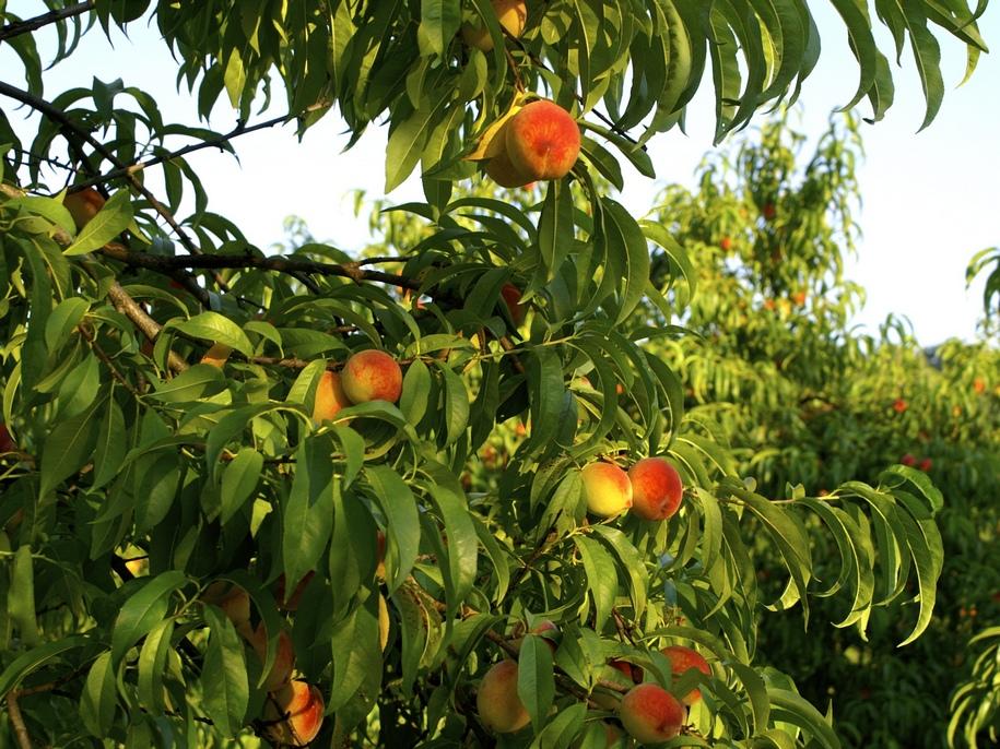 Персики з кісточки плодоносити почнуть на 5-7 рік