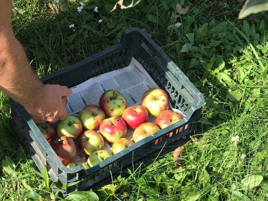 Яблука можна зберігати не тільки в дерев'яних, але й пластикових ящиках, головне - достатньо отворів для вентиляції