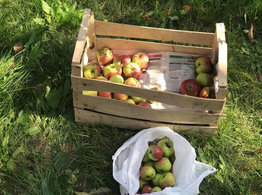 Збираючи яблука, можна одразу відкладати окремо пошкоджені шкідниками і хворобами