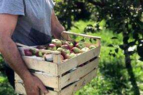 Коли збирати яблука і як зберігати врожай?
